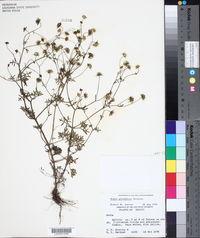 Bahia glandulosa image