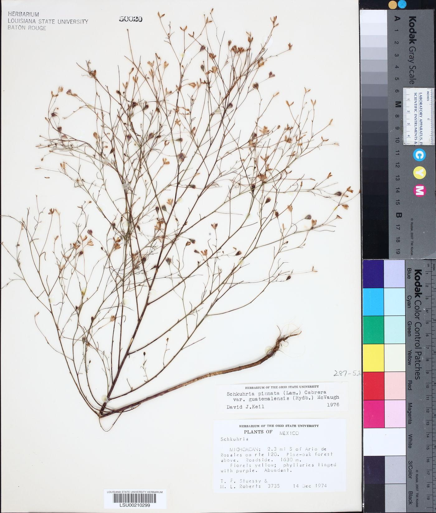 Schkuhria pinnata var. guatemalensis image