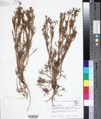 Image of Hymenoxys robusta