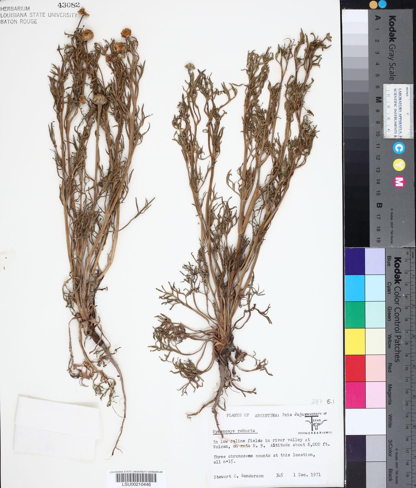 Hymenoxys robusta image