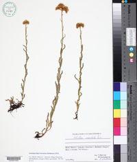Image of Achillea coarctata