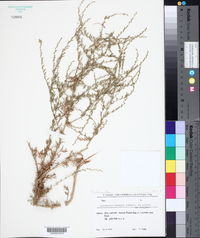 Image of Artemisia badhysi