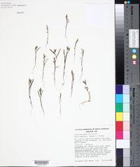 Image of Erechtites glossantha