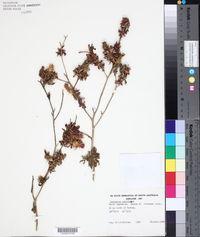 Centaurea calcitrapa image