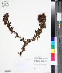 Image of Barnadesia arborea