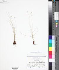 Abildgaardia monostachya image