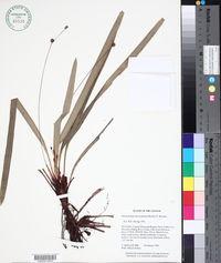 Image of Bisboeckelera microcephala