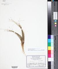 Eleocharis geniculata image