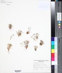 Image of Isolepis marginata