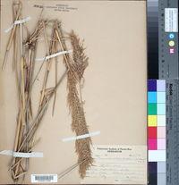 Arundinella confinis image