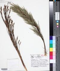 Image of Chusquea pinifolia