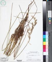 Image of Cortaderia roraimensis