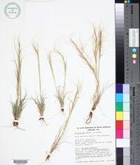 Image of Austrostipa nitida