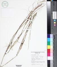 Image of Austrostipa platychaeta