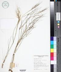 Image of Stipa elegantissima
