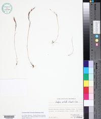Vulpia ciliata image