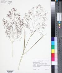Image of Lachnagrostis billardierei