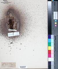 Arenaria ciliata image