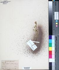 Image of Arenaria fasciculata