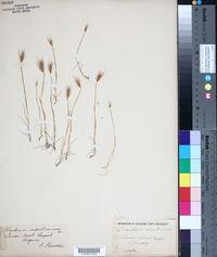 Hordeum marinum image