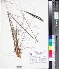 Image of Ctenium polystachyum
