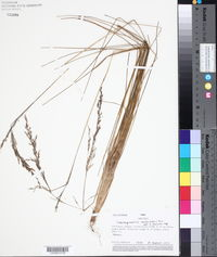 Image of Calamagrostis recta