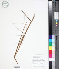 Image of Axonopus flabelliformis