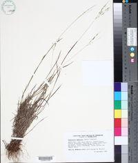 Image of Digitaria eggersii