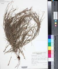 Image of Digitaria brownii
