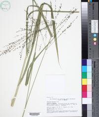 Megathyrsus maximus image