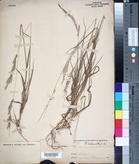 Image of Panicum lachnanthum