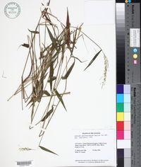 Image of Dichanthelium aequivaginatum