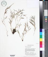 Image of Panicum micranthum