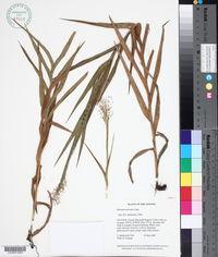 Image of Panicum nervosum