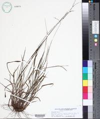 Image of Paspalum molle