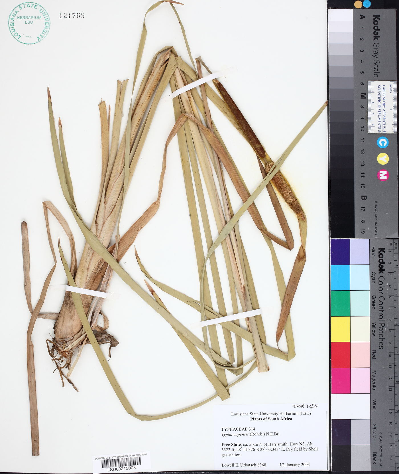 Typha capensis image