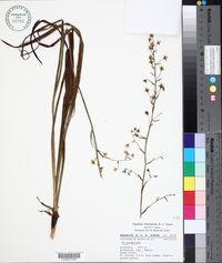 Image of Anticlea hintoniorum