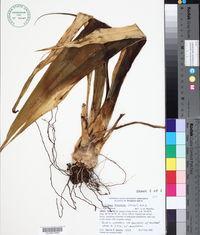 Image of Furcraea tuberosa