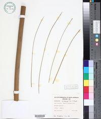 Image of Xanthorrhoea quadrangulata