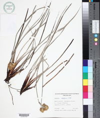 Image of Conostylis candicans