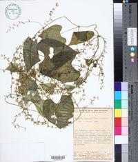 Image of Dioscorea carionis