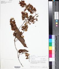 Dioscorea cayennensis image