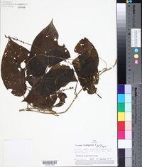 Image of Dioscorea dodecaneura