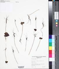 Image of Acianthus caudatus
