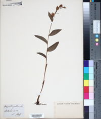 Image of Epipactis pallens