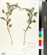 Amaranthus viridis image