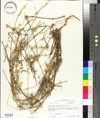 Froelichia gracilis image