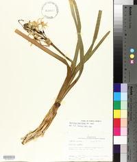 Narcissus papyraceus image