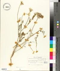 Image of Tanacetum cinerariifolium
