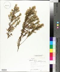 Symphyotrichum praealtum image